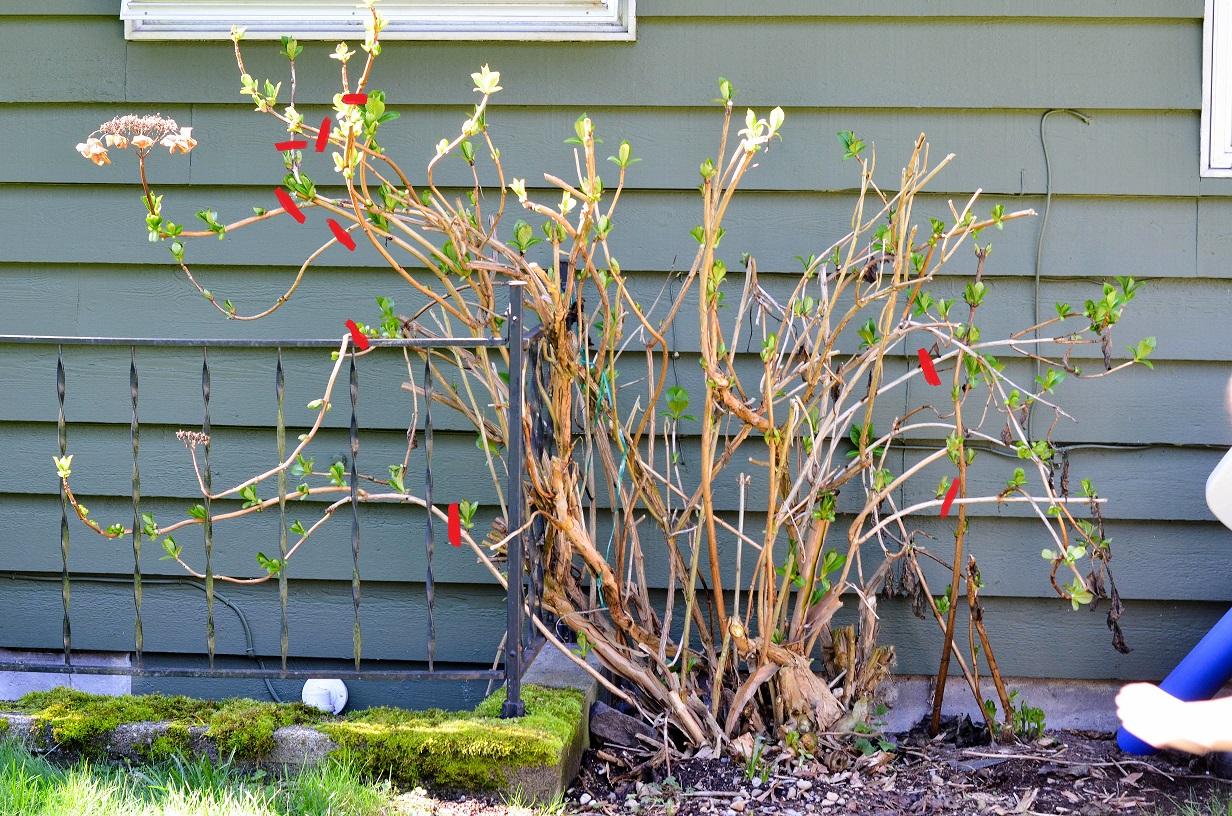 Pruning Hydrangea