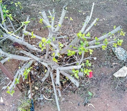 Pruning Hibiscus