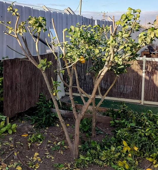 Pruning Lemon Trees