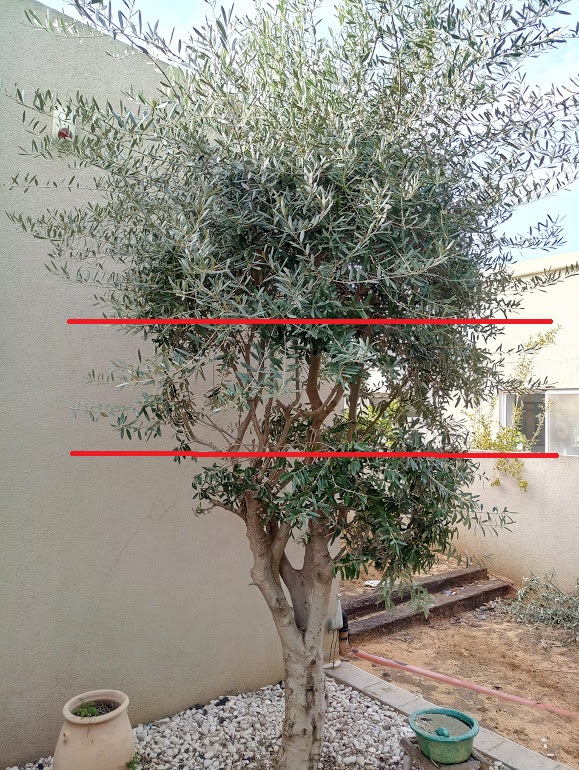 Small olive trees australia beatiful tree for Pruning olive trees in pots