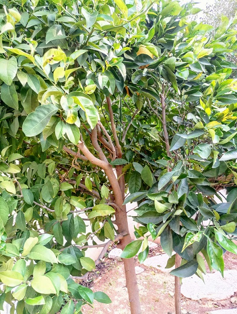 You can prune citrus throughout the year baecc453e