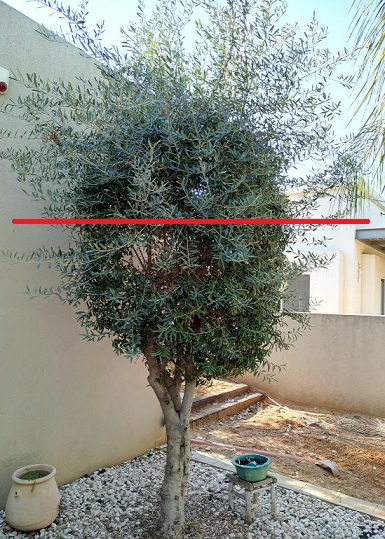 Olive Trees In Planters Would 100 Images Container