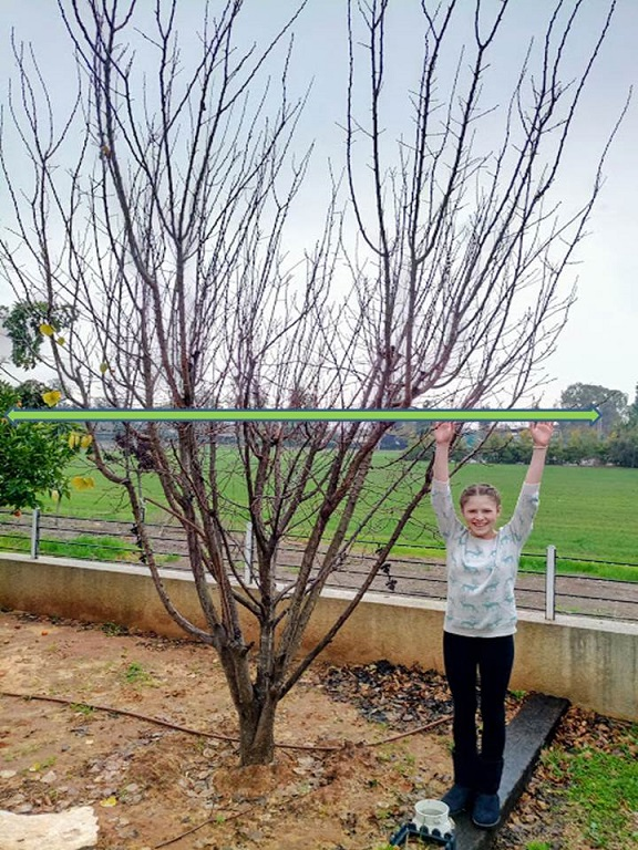 Pruning Apricot Trees