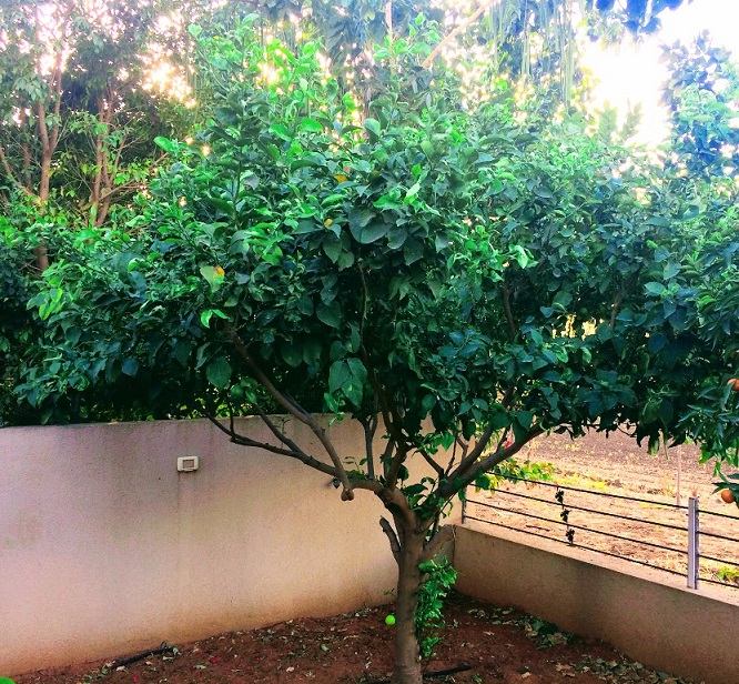 Pruning Lemon Trees