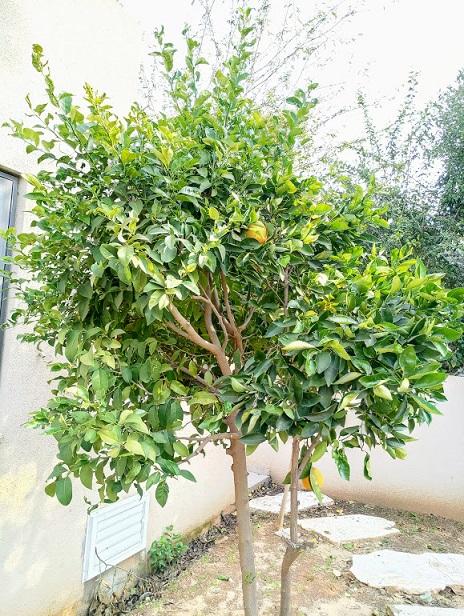 pruning orange trees