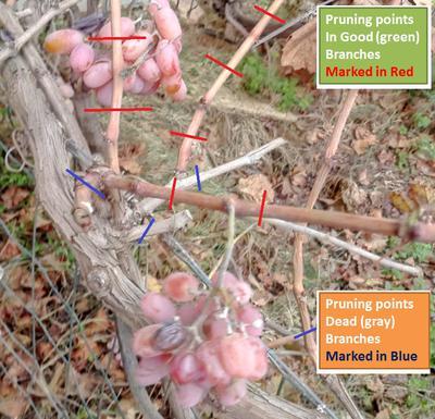 how to prune grape